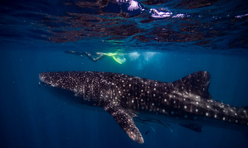 Volunteer in Mexico and swim with whale sharks