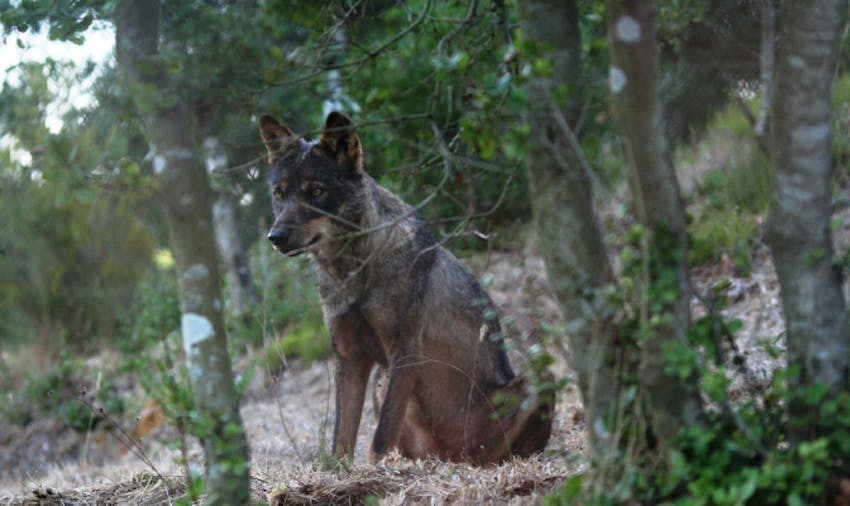 10 Unique Volunteer Opportunities Abroad - Wolf Conservation in Portugal