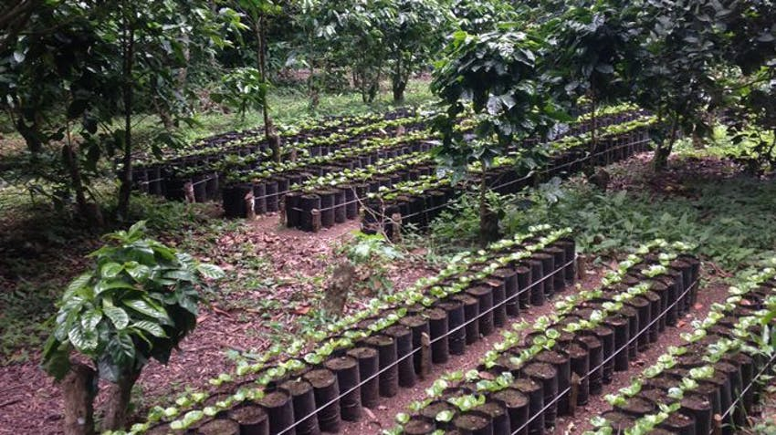 Coffee seedlings are planted on the IVHQ Eco Agriculture project in Costa Rica