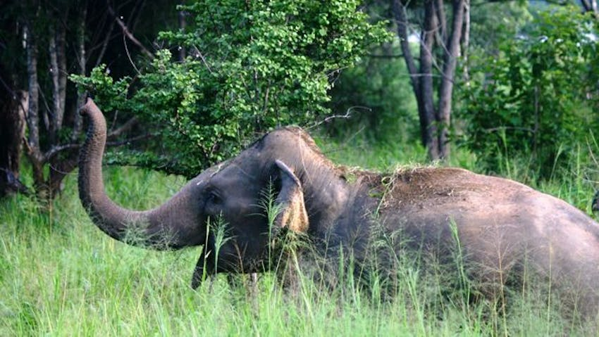 Unique elephant conservation volunteer project in Sri Lanka with IVHQ