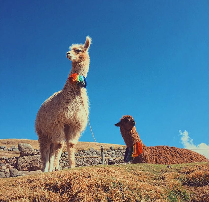 Tracy Do meeting an Alpaca in Cusco