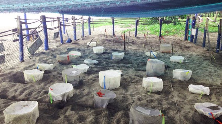 The Junquiall Turtle Hatchery on the IVHQ Turtle Conservation Project in Costa Rica