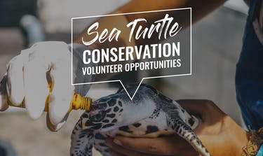 Explore the three top sea turtle conservation volunteer opportunities abroad