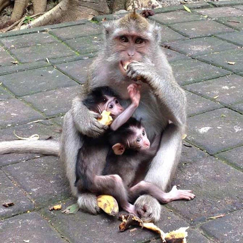 Meet the monkeys in Ubud, Bali with IVHQ
