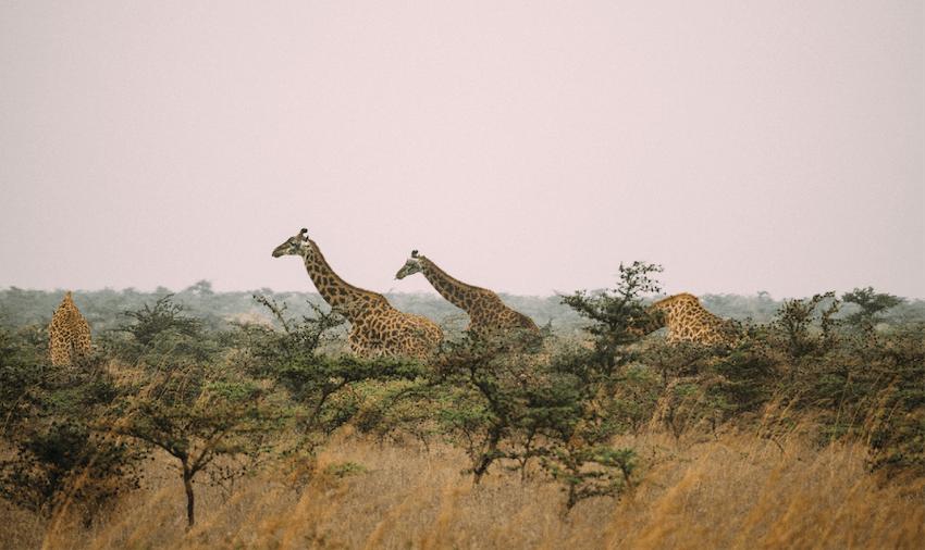 Find amazing wildlife on safari as an IVHQ Kenya volunteer