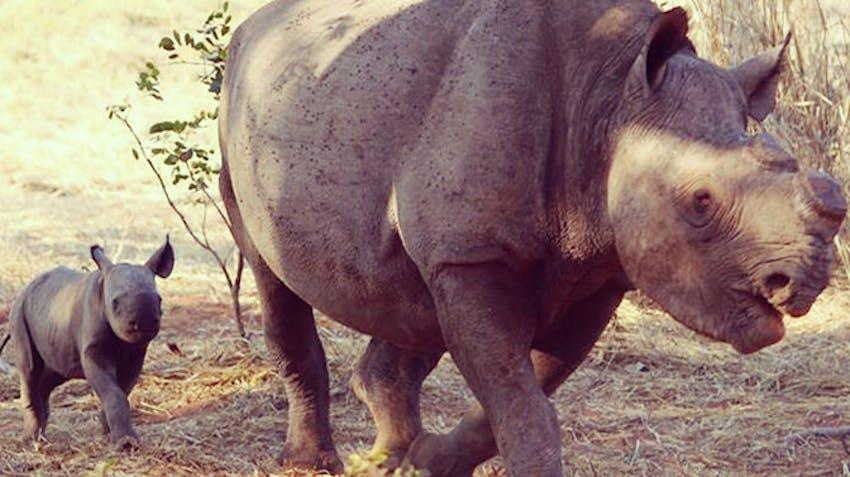 Black rhino in Victoria Falls wildlife conservation