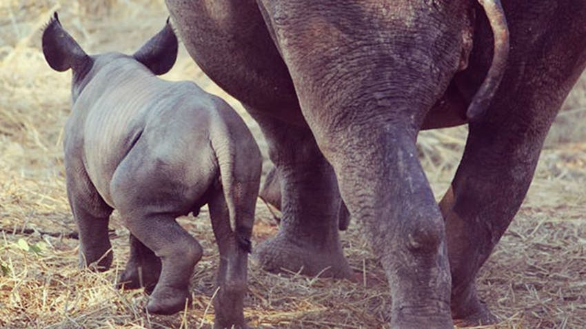 Baby Rhino Volunteer Abroad in Victoria Falls with IVHQ