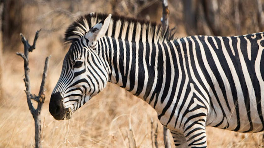 A Zebra walks by the Volunteer House in Victoria Falls with IVHQ