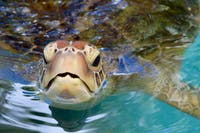 Turtle on the Marine Conservationm project in Australia with IVHQ