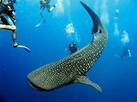 Marine Conservation volunteers and Whale Sharks in Belize with IVHQ