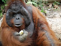 Volunteers can give back on the Orangutan Conservation project on the IVHQ Malaysia program