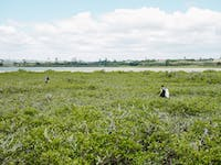 New Zealand Coastline Conservation and Education project volunteers in mangroves