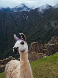 Meeting Lamas in Machu Picchu in Cusco, Peru with IVHQ