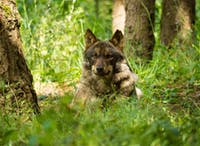 Volunteer in Wolf Conservation in Portugal with IVHQ