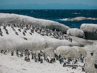 View penguins in Cape Town, South Africa with IVHQ