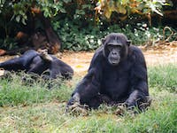 Watching Gorillas at the Uganda Wildlife Education centre with IVHQ