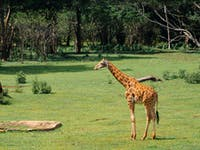 Watching Giraffes at the Uganda Wildlife Education centre with IVHQ