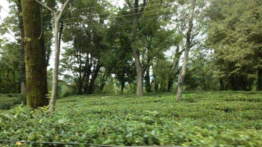 IVHQers visiting a Tea Plantation in Bir