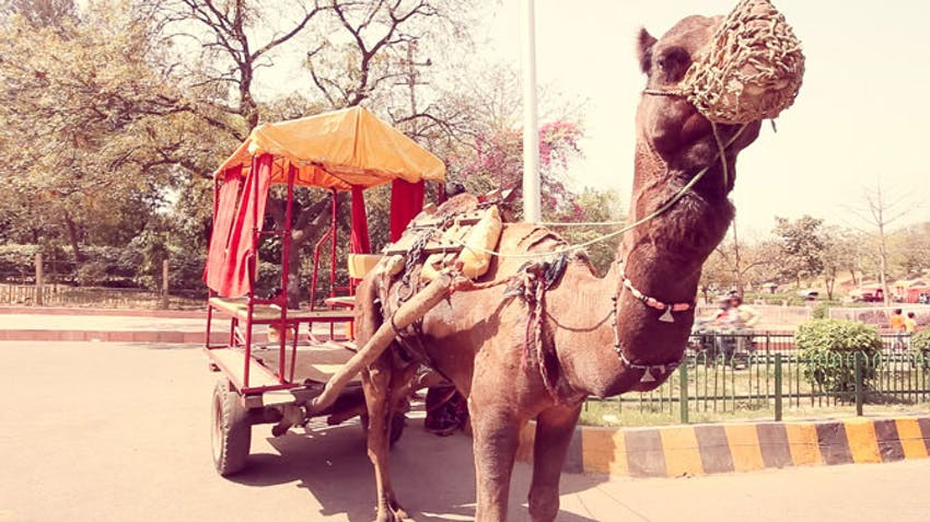 A camel on the streets of Delhi in India