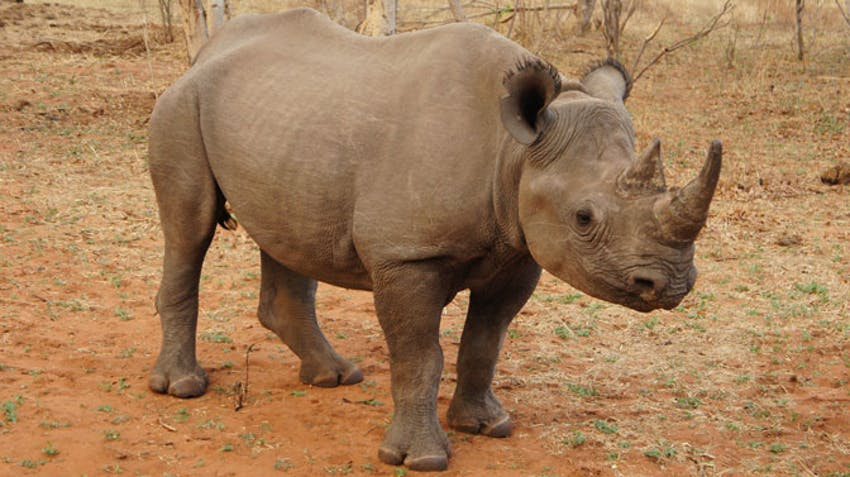 Get up close to Rhinos as a volunteer in Victoria Falls