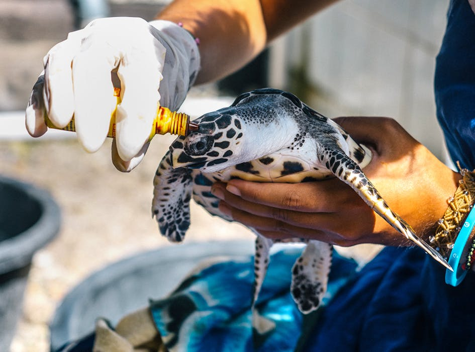Sea Turtle Conservation in Bali