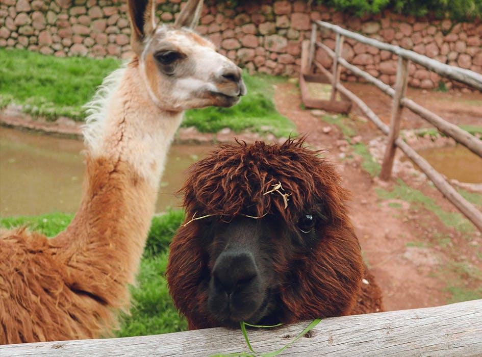 Animal Care Volunteer Program in Peru - Cusco