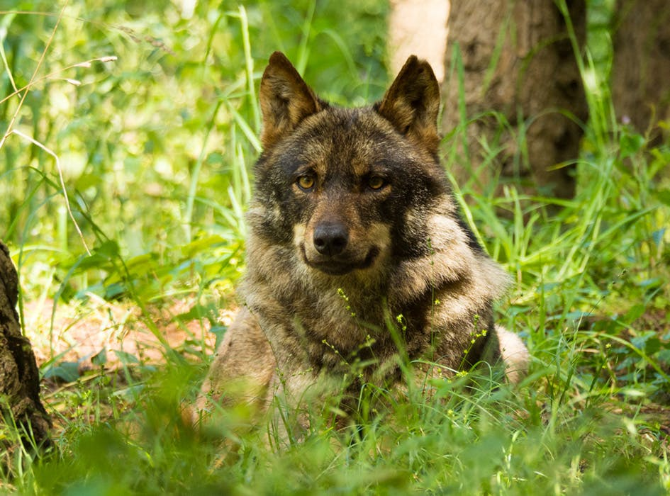 Wolf Conservation Volunteer Project in Portugal - Mafra