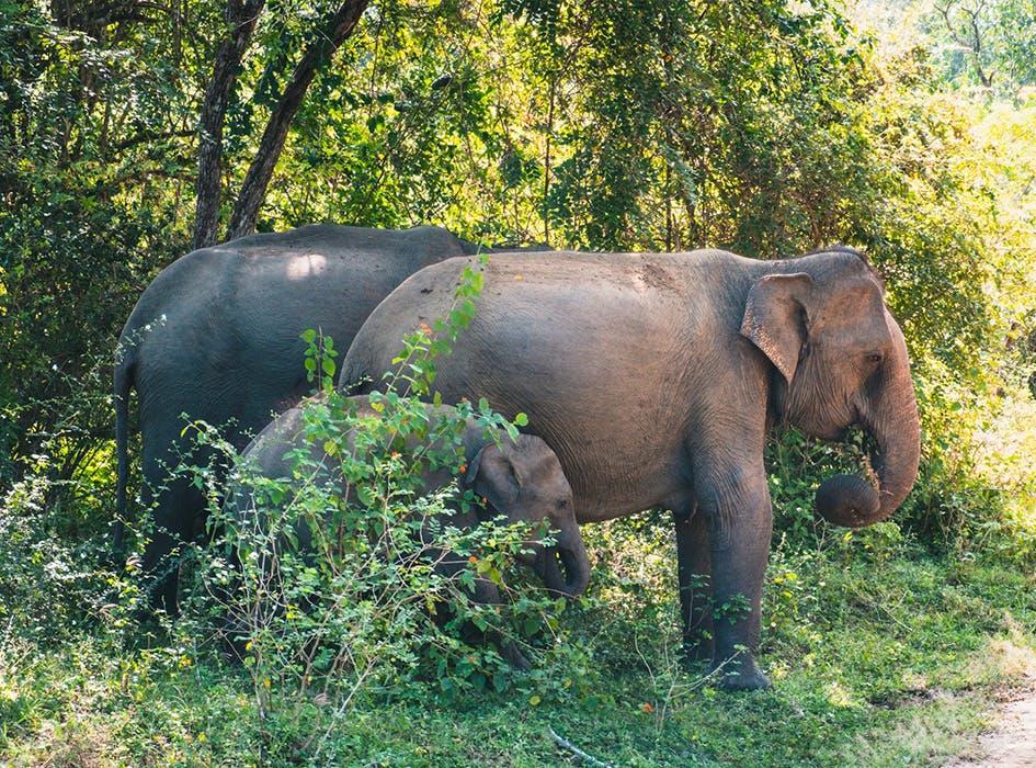 Wild Elephant Conservation Volunteer Program in Sri Lanka